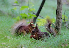 IMG_7446 (Laima B.) Tags: red squirrel animals widllife goteborg gothenburg sweden swedishnature sverige sverigesnatur canon canon600d forest outdoors