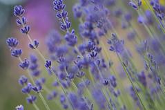 Summer. flowers. 004 (George Ino) Tags: copyright georgeino georgeinohotmailcom thenetherlandshollandnederland utrecht lavender lavendel dofbokeh plant flower bloem purple blue lavande lavanda depthoffield ngc
