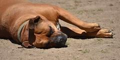 Suntanning (swong95765) Tags: cute dog pet animal sleeping sunning outdoors rest