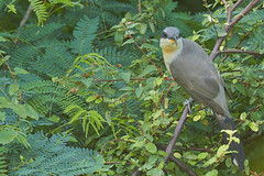 Mangrove Cuckoo (ronmcmanus1) Tags: antigua bird nature outdoors wildlife jollyharbour stmarysparish antiguabarbuda