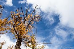 Autumn Larch Trees 9352 (Ursula in Aus) Tags: mongolia wtf asia autumn larch trees chuluutrivergorge chuluutgorge