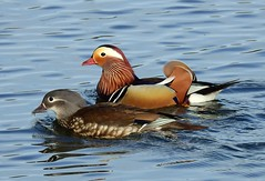 Mandarin ducks (PhotoLoonie) Tags: mandarinducks ducks wildlife nature feathers colours colourfull