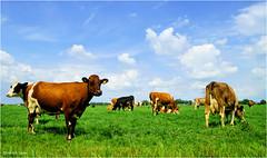 Heitelân Homeland #47 (Hindrik S) Tags: cow cattle fee herd kij ko koe koeien kuh kühe keppel meadow greide heitelân homeland fryslân friesland netherlands nederland clouds sky loft lucht blauw blue himel hemel green grien groen grün grass gers gras sonyphotographing sony sonyalpha a57 α57 slta57 tamron tamronspaf1750mmf28xrdiiildasphericalif summer simmer zomer blessum deinum 2017