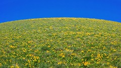 Planet Balsamroot 4754 C (jim.choate59 (away shooting)) Tags: sky bluesky balsamroot wildflowers minimal minimallandscape landscape simple spring flowers dallesmountainroad klickitatcounty washington columbiarivergorge jchoate columbiahillsstatepark on1pics rx100