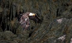 Taking Flight (rmikulec) Tags: bald eagle flight air background hike trees raptor bird prey wild nature wildlife