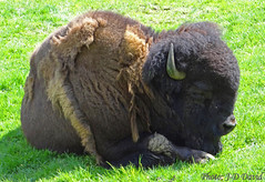 Une grosse peluche :-) (jean-daniel david) Tags: animal bison peluche nature