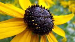 Susan's Ring (MTSOfan) Tags: blackeyedsusan flower summertime