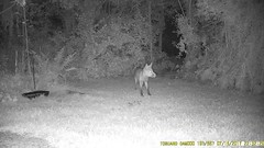 TrailCam358 (ohange2008) Tags: essexgarden trailcam foxes badger cat july dogfood peanuts