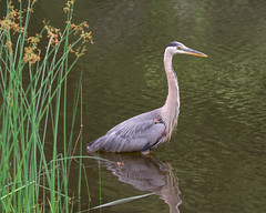 City Bird (DaveLawler) Tags: worcester city bird heron blue greatblue fishing grass pond elm park elmpark ripples water reflection nikon nikkor