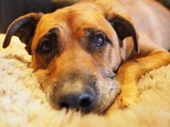 Bingo the Restful (Rantz) Tags: animal animals australia australiancapitalterritory bingo canberra dikaiosyne dog rantz oconnor au