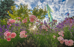 Sun and roses (RdeUppsala) Tags: roses lavender uppland uppsala lavendel lavanda garden jardín trädgård ricardofeinstein sverige suecia sweden sommar summer verano rosor blommor flores flowers rosas