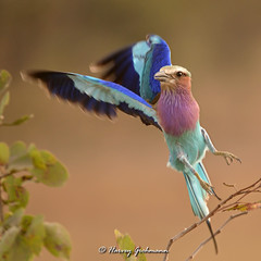 """The Gentleman"" (Through Harvey's Lens) Tags: mopani mpumalanga republicofsouthafrica wildlife bird kruger flight bif sigma nikon 120300mm sigma120300mmf28exdgapohsmos colourful roller lilacbreastedroller coraciascaudatus"