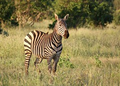 """Sure, you can take my picture!"" (Kim's Pics :)) Tags: zebra oxpecker animal bird mammal evening light sunshine patterns stripes grass landscape alert curious safari kenya ngutuni africa"
