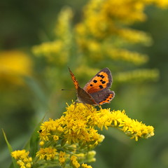 """""""Lycaena phlaeas"""" - kleine vuurvlinder (bugman11) Tags: smallcopper butterflies butterfly bug bugs fauna insect insects animal animals orange yellow canon 100mm28lmacro nederland thenetherlands boxtel bokeh nature macro flower flowers flora thegalaxy platinumheartaward"""