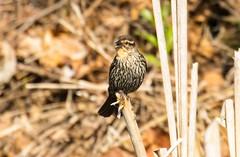 2U7A2196 (rpealit) Tags: scenery wildlife nature east hatchery alumni field female redwinged blackbird bird
