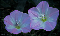 Two sisters (Jan 130) Tags: morningglory flower hedgerow wildflower topaz picmonkey jan130 ngc npc coth5