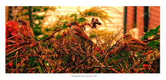 Three cute sparrows (daz3467) Tags: sparrows birds nature landscape wide