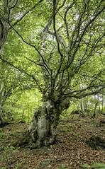 Il grande faggio ( explore del 19-7-2017 ) (freguggin2010) Tags: nikon albero natura bosco