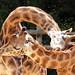 giraffe amersfoort BB2A4829