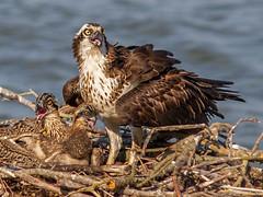 IMG_9480 Osprey mom and chicks (cmsheehyjr) Tags: cmsheehy colemansheehy nature wildlife bird hawk fishhawk osprey pandionhaliaetus rappahannock urbanna virginia raptor