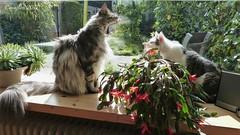 Boring. (Cajaflez) Tags: cats katten chats katzen gattos huisdier pet pedigree raskat floris jasmijn coth5