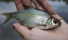 Silver Bream (Paula Darwinkel) Tags: animal wildlife nature fish bream roach angling fishing carp freshwater