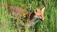 Fox (Terry Angus) Tags: fox redfox norden rochdale uk mammal