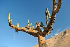 Scars (Javiera C) Tags: chile arica parinacota parquenacional nationalpark parquenacionallauca laucanationalpark altiplano highlands desert desierto plant planta flora vegetación vegetation vegetal cactus cactuscandelabro browningiacandelaris