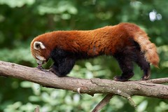 ma langue est collée !! (rondoudou87) Tags: pentax k1 parc zoo reynou pandaroux panda redpanda nature natur wildlife wild sauvage smcpda300mmf40edifsdm branche