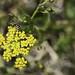 Sandia Pollinators 7