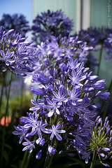 Agapanthus (AnnMelanie) Tags: sthelier jersey channelislands harbour boats water blue sea cranes reflections agapanthus nilelily flower plant bloomsummer sunshine
