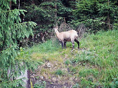 Rupicapra Rupicapra (N2333) (Le Photiste) Tags: rupicaprarupicapra chamois gämse rebeco gamuza sarrio ante camurça gemse stenget alpget gems wildlife animals tirolaustria austria nature naturesprime planetearthnature planetearth afeastformyeyes aphotographersview autofocus artisticimpressions blinkagain bestpeople'schoice cazadoresdeimágenes digifotopro damncoolphotographers digitalcreations django'smaster friendsforever finegold fairplay greatphotographers giveme5 groupecharlie hairygitselite ineffable infinitexposure iqimagequality interesting livingwithmultiplesclerosisms lovelyflickr myfriendspictures mastersofcreativephotography momentsinyourlife niceasitgets ngc nikon nikoncoolpixs9900 photographers photographicworld photomix soe simplysuperb saariysqualitypictures showcaseimages simplybecause thebestshot theredgroup thelooklevel1red thepitstopshop vividstriking wow yourbestoftoday simplythebest
