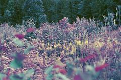 pļava (inmno) Tags: lomochrome purple lomography aerochrome minolta ishootfilm