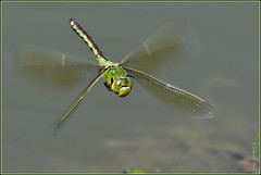 N° 777 / Anax empereur ( Anax imperator ) Focus Distance - 2.51 m (norbert lefevre) Tags: insecte libellule nikon d500 300mmf4 odonate macro macrophotographie nature dragonfly anisoptère