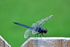 Dragonfly (deanrr) Tags: dragonfly backyarddragonfly summer 2017 fence greenbackground outdoor nature morgancountyalabama alabama nikond7100 slatyskimmer