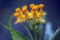 小黃花   Yellow flowers (C. Alice) Tags: sony a6000 ilce6000 asahi takumar 50mmf14 supertakumar50mmf14 manuallens m42 adaptor pentax yellow orange bokeh blue green summer asia vintage emount 2017