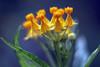 小黃花   Yellow flowers (Alice 2017) Tags: sony a6000 ilce6000 asahi takumar 50mmf14 supertakumar50mmf14 manuallens m42 adaptor pentax yellow orange bokeh blue green summer asia vintage emount 2017 1500v60f aatvl01 aatvl02 aatvl03