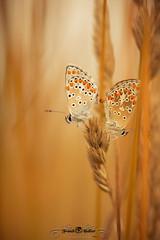 DSC_3156 (Franck.H Photography) Tags: macro insectes araignée coccinelle