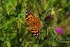 Distelfalter (günter mengedoth) Tags: manuell schmetterling distelfalter distel natur sommer makro insekt blüte contactgroups magicmomentsinyourlife onlythebestofflickr