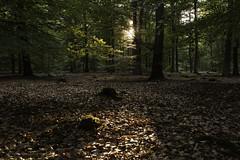 beukenbos met strijklicht (v a n d e r l a a n . f o t o g r a f e e r t) Tags: 201707176442 avond beukenbos boswachterijodoorn schaduw sfeer staatbos strijklicht zonsondergang ensemble drenthe