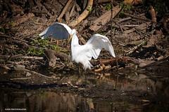 Stick play (JSB PHOTOGRAPHS) Tags: jsb934400001 egret deltaponds eugeneoregon nikon d7100 nikon200500mmafsgf56evr 200500mm wildlife sticks water pond