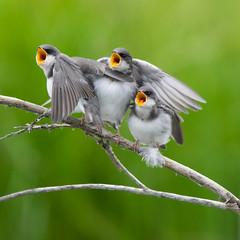 The Three 'Mouthketeers' (kdee64) Tags: treeswallow tachycinetabicolor fledglings july summer migratorybird mcintyrecreek whitehorse yukon northerncanada