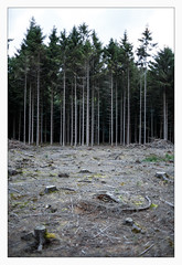 _matches (fot_oKraM) Tags: wald wood forest matches trees bäume ahaus nrw