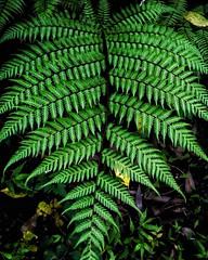 Fern (abhishekskumar) Tags: fern plant plants nature explorer explore planetearth green greenery spore saveplanetearth igers india vegetation