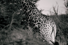 Balck white pattern (knipslog.de) Tags: pattern giraffe blackwhite bw botswana botsuana safari adventure wildlife wild animals selfdrivesafari