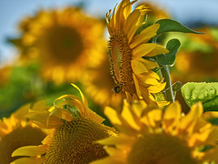 Sunny Weekend! (W_von_S) Tags: sunflower sonnenblume backlight gegenlicht natur nature flower blume blossom blüte wvons werner sony outdoor macro makro yellow gelb sonyilce7rm2 sensual composition komposition wow wonderful beautiful pov sommer juli july 2018 summer sonne fukus focus