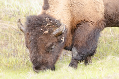 Feeding (rschnaible) Tags: yellowstone national park west western us usa outdoor sightseeing bison animal wild wildlife wyoming macro