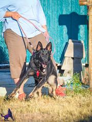 P7151004 (Songdog Studios) Tags: green dog neumond womensretreat 2017 k9 schutzhund ipo