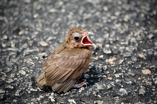 Why did the fledgling stop in the middle of the road?