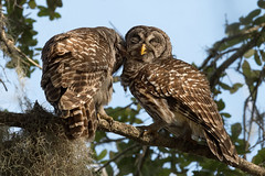 Sweet Nothings (PeterBrannon) Tags: bird birdphotography circlebbarreserve florida lakeland nature shadows strixvaria wildlife barredowl funny owl owls secret whisper